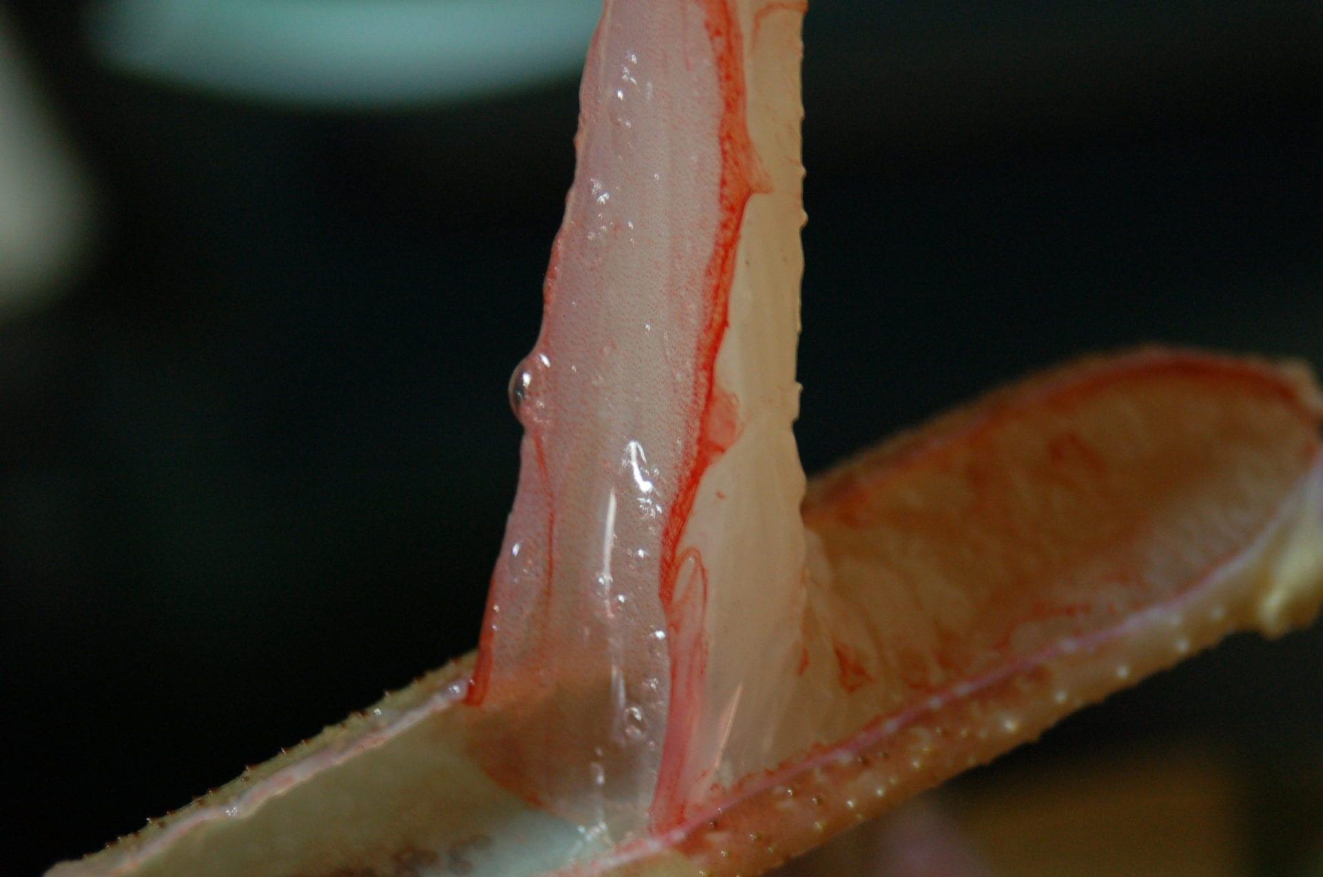 透き通る蟹刺し