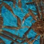 仕入れたばかりの池蟹