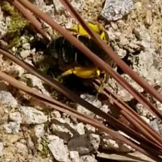 ウツギノヒメハナバチ
